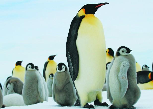 コウテイペンギンの画像 p1_30